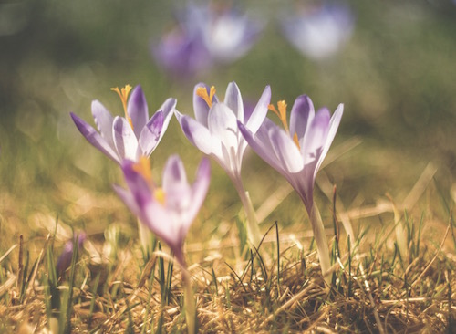 crocus pushing up through the spring ground as a symbol of feminine reawakening